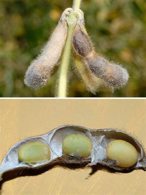 Glycine max  L.  Merr.   Soybean