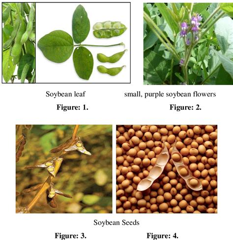 Glycine Max Plant   The Engineering Internship Cover Letter