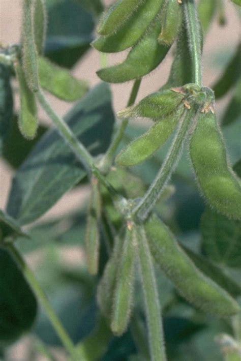 Glycine max  soybean : Go Botany