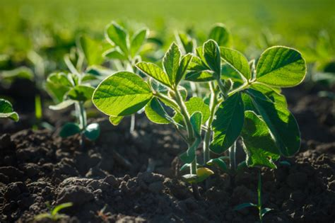 Glycine max, soybean, soya bean sprout growing soybeans on ...