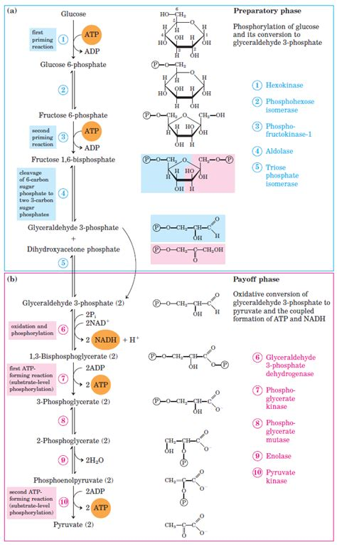 Glycolysis : All Steps with Diagram, Enzymes, Products ...