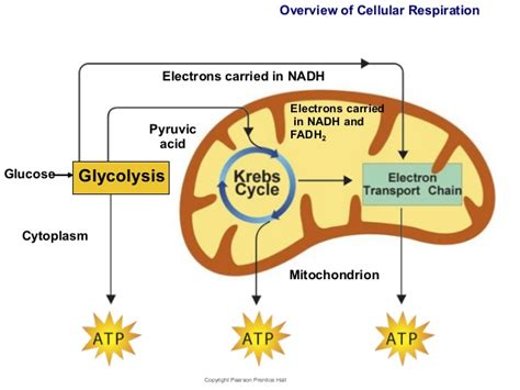 Glycolysis is the first stage of cellular respiration. Du...