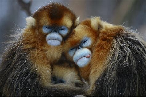 Golden hair monkey – Wild world   Nature, conservation and ...