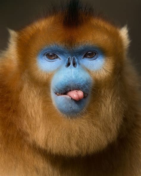 Golden monkey from the mountains of China   Golden snub ...