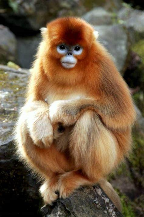Golden Monkey, Wildlife at Yangtze drainage area, Yangtze ...