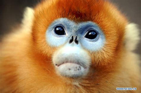 Golden monkeys at Foping Giant Panda Valley in N China s ...