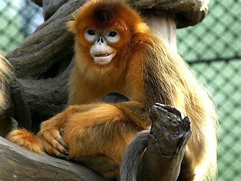 Golden Snub nosed Monkey Endangered animals list Our ...