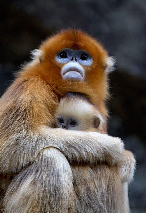 Golden snub nosed monkey   Wikipedia