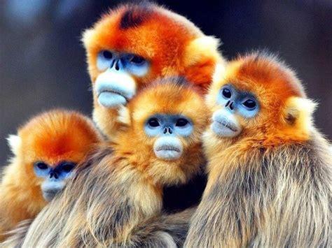 Golden Snub nosed Monkeys in China  : NatureIsFuckingLit