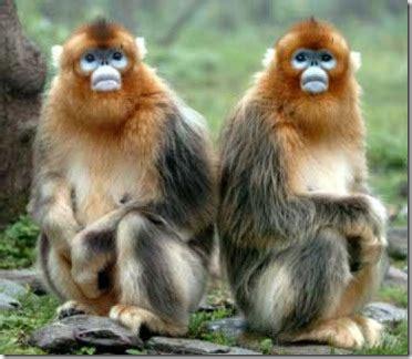 golden snub nosed monkeys « JustOneMorePet