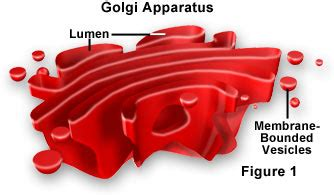 Golgi Apparatus   Organelles