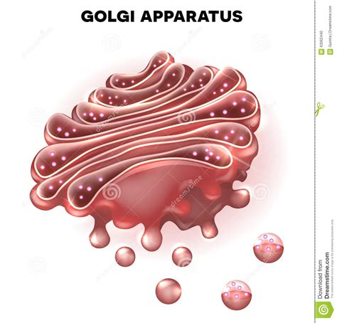 Golgi complex stock vector. Illustration of image, cell ...