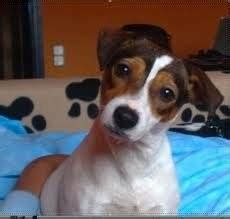 Gorki: Jack Russell terrier ##ESPECE##