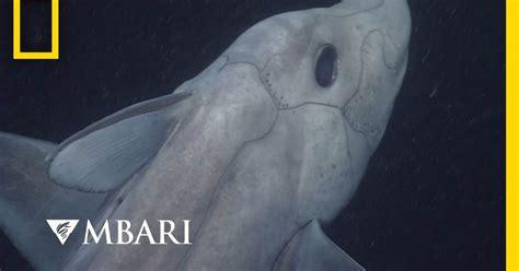Graban por primera vez al Tiburón Fantasma, una especie ...