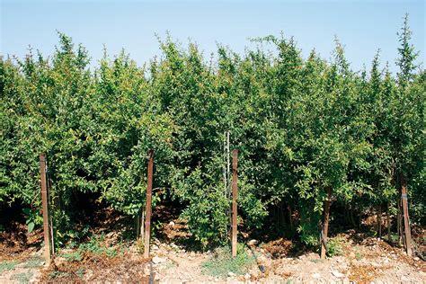 Granado  Punica Granatum    Viveros Sancho