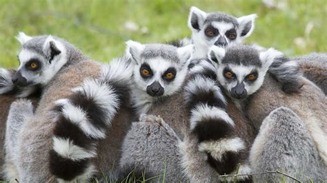 Grandes documentales   La isla de los lemures   RTVE.es