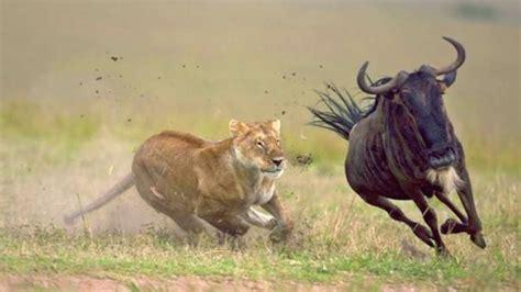 Grandes documentales   Los depredadores de África ...