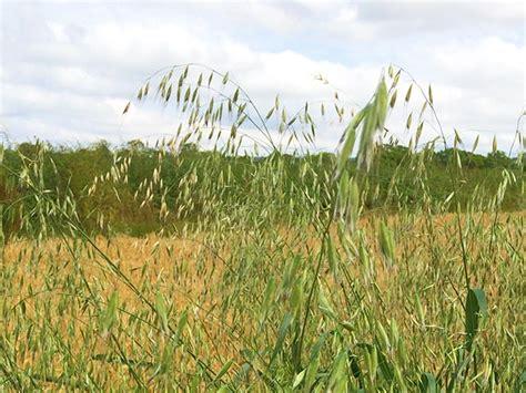 Grassland Wild Oats Grass | www.imgarcade.com   Online ...