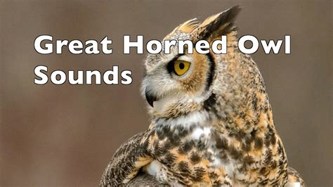 Great horned owl hooting   YouTube