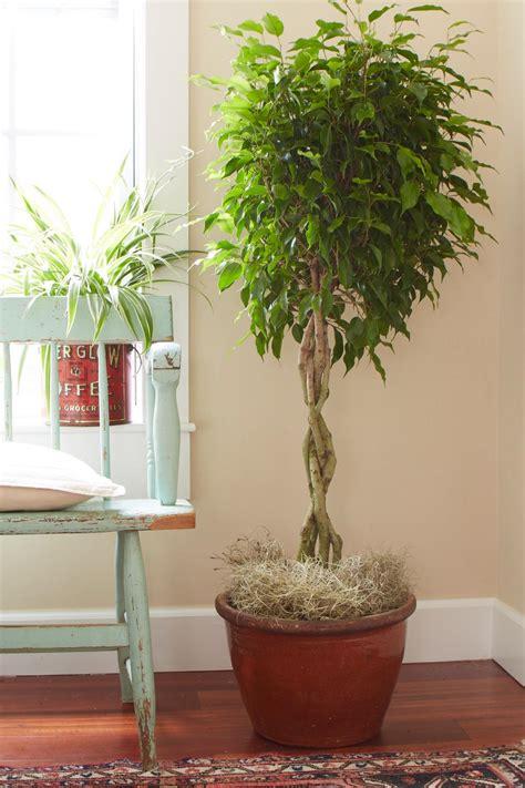 Great Indoor Trees   HGTV