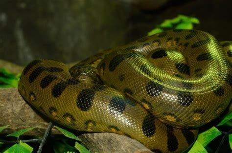 Green Anaconda Facts and Pictures