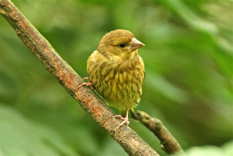 Greenfinch | Common british birds, Common birds, Birds