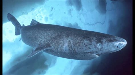 Greenland Shark Facts   YouTube