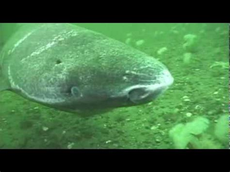 Greenland shark in the St. Lawrence Estuary   YouTube