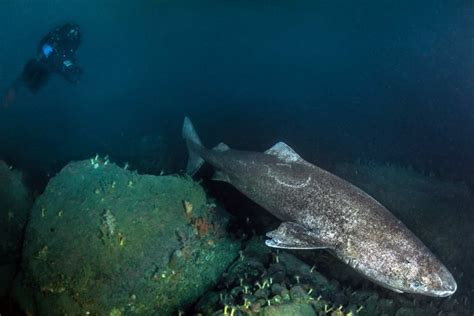 Greenland shark is oldest vertebrate with lifespan of up ...