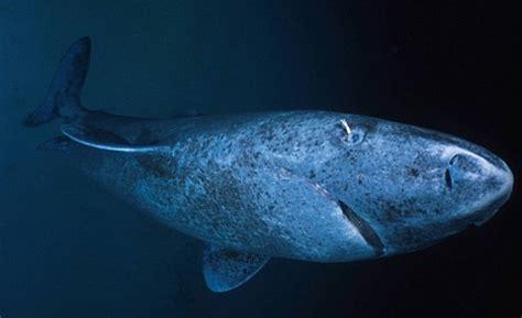 Greenland Shark | Oceanuts