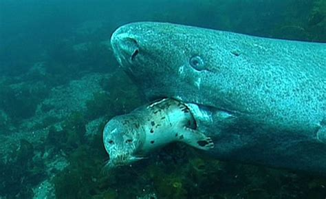Greenland Shark –  OCEAN TREASURES  Memorial Library