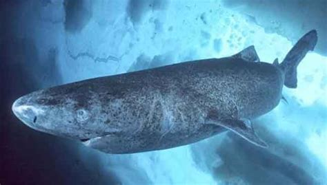 Greenland sharks may live 400 years, researchers say ...