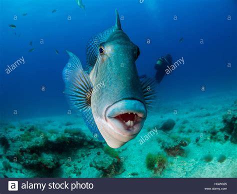 Grey triggerfish  Balistes capriscus , La Graciosa ...