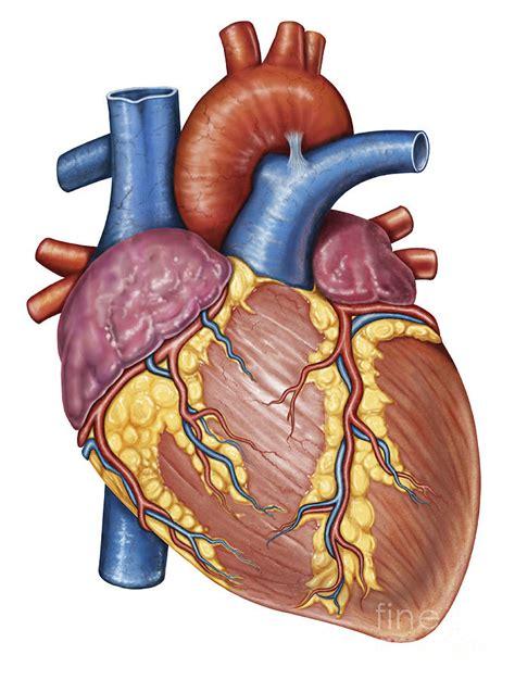 Gross Anatomy Of The Human Heart Digital Art by Stocktrek ...
