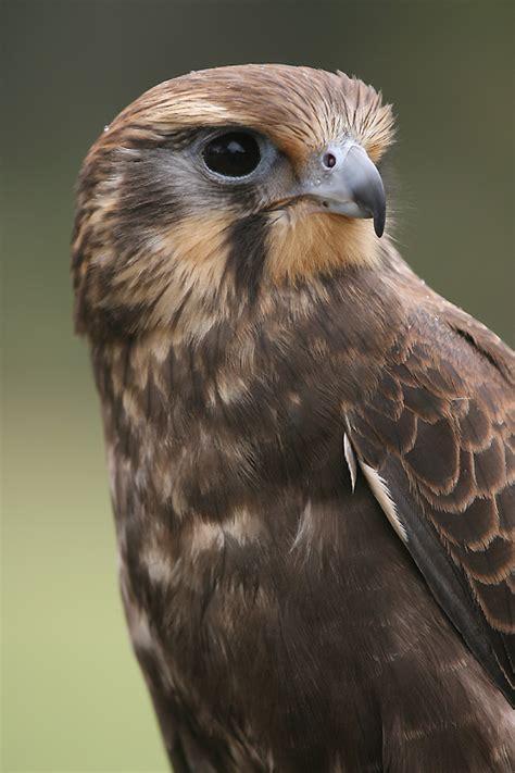 GT   Brown Falcon, Falco berigora   WA Birds of Prey Centre