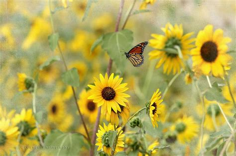 Guarantee 100 Seeds WILD Common SUNFLOWER Seeds American ...