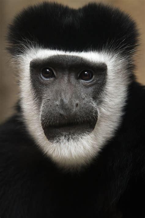 Guereza Colobus Monkey   Saint Louis Zoo