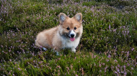 Guest Post: Why Breeding Corgis Is Harder Than You Think ...