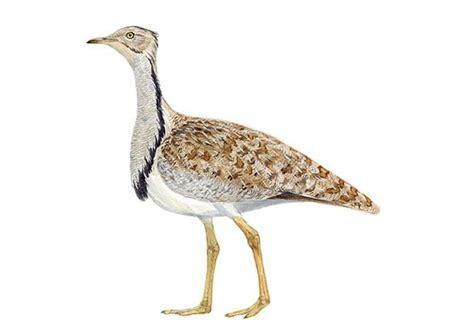 Guía de aves Seo BirdLife. Información Hubara canaria y ...