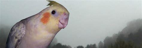 Guia ninfas papilleras , cria a mano . :: Aviarioelbayon
