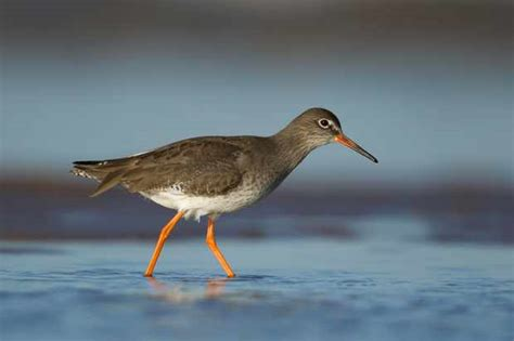 Guide to British wading birds: how to identify and where ...