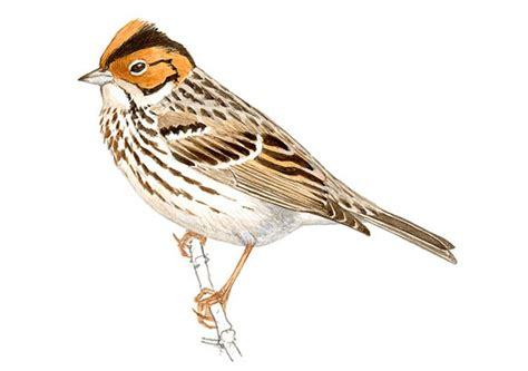 Hallado en Ceuta un ejemplar de pájaro que apenas aparece ...