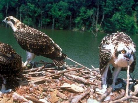 Hallan microplásticos en aves rapaces de Florida | MÁSNOTICIAS