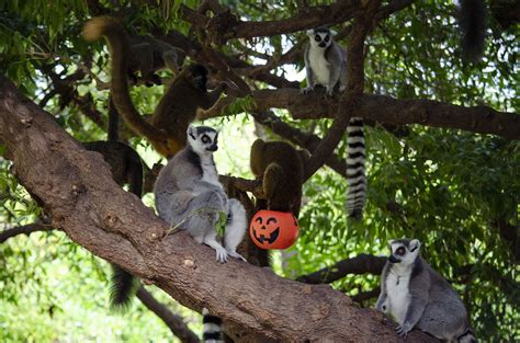 Halloween 2019   Lémures en BIOPARC Valencia | Animales ...
