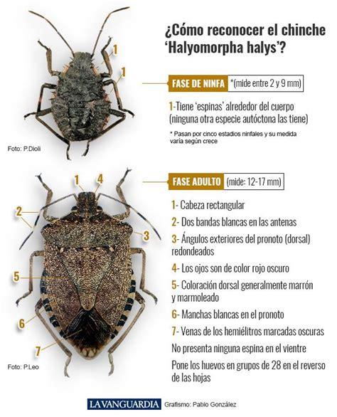 Halyomorpha halys: El chinche apestoso que afecta a ...
