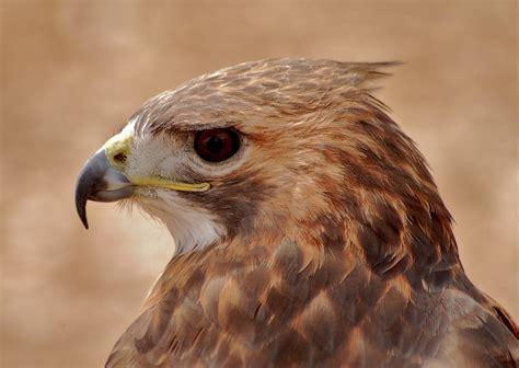 Hawk Bird Of Prey Raptor · Free photo on Pixabay
