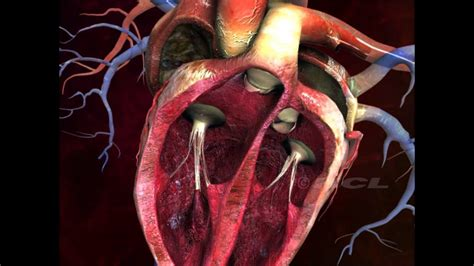 HCL Learning DigiSchool   Structure of the Human Heart ...