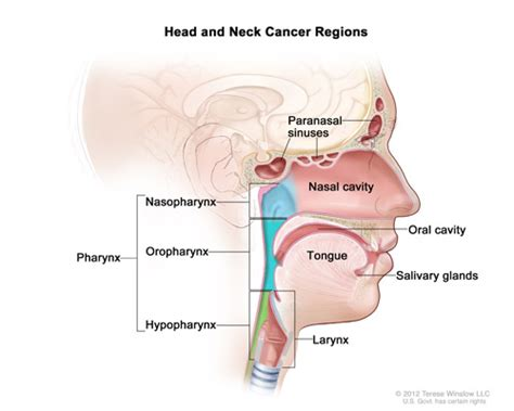 Head and Neck Cancers   National Cancer Institute