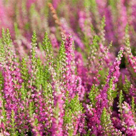 Heather Flower Essence Benefits   Best Flower Wallpaper