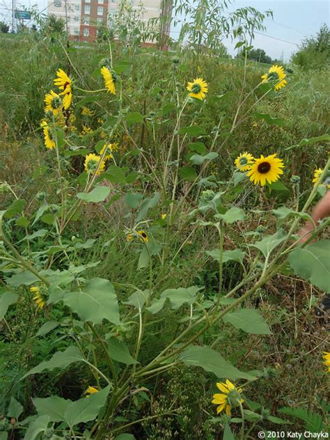 Helianthus annuus  Common Sunflower : Minnesota Wildflowers